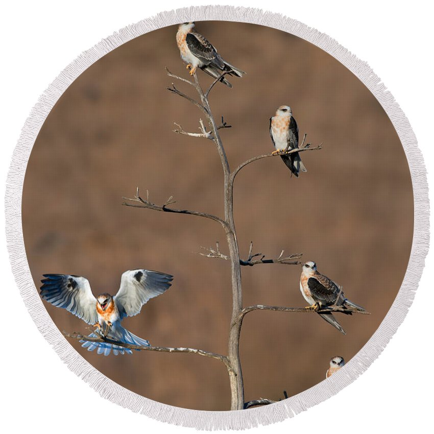 Animal Round Beach Towel featuring the photograph Five White-tailed Kite Siblings by Anthony Mercieca