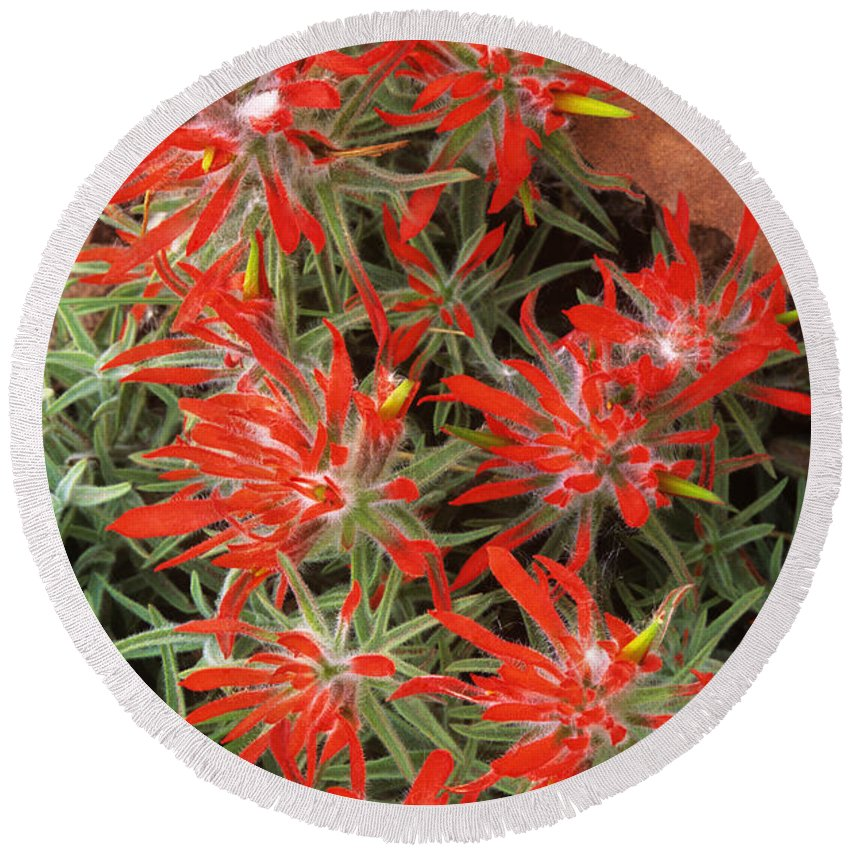 Zion Paintbrush Round Beach Towel featuring the photograph Flaming Zion Paintbrush Wildflowers by Dave Welling