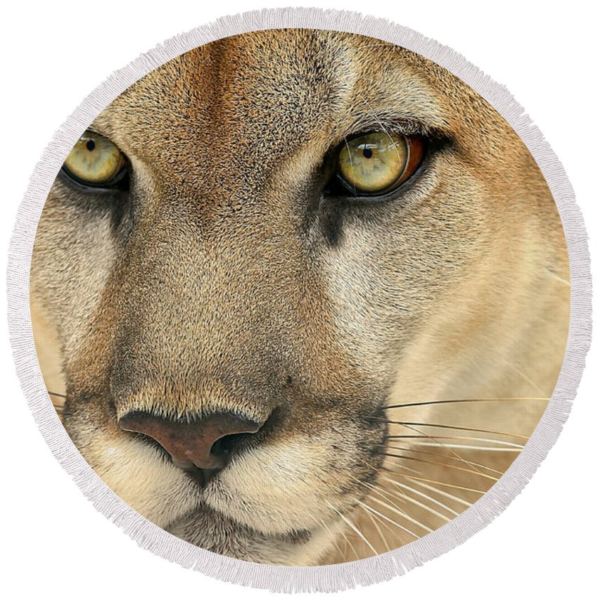 Kowiachobee Round Beach Towel featuring the photograph Florida Panther by Dennis Goodman
