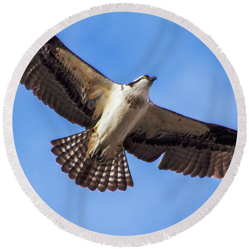 Osprey Round Beach Towel featuring the photograph Flying Osprey by Robert Bales