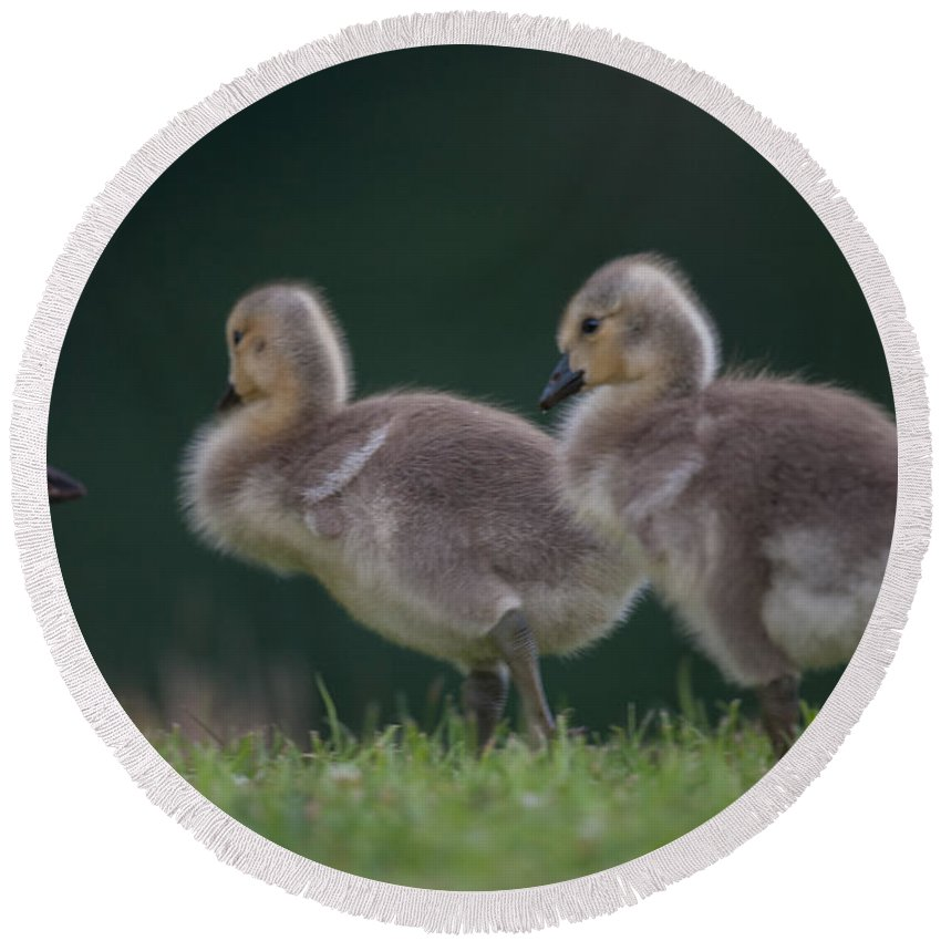 Gosling Round Beach Towel featuring the photograph Follow Daddy by Dale Powell