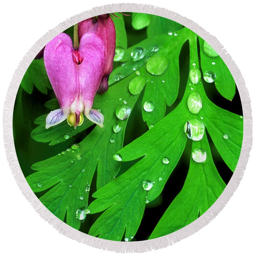 Formosa Bleeding Heart Round Beach Towel featuring the photograph Formosa Bleeding Heart On Ferns by Dave Welling