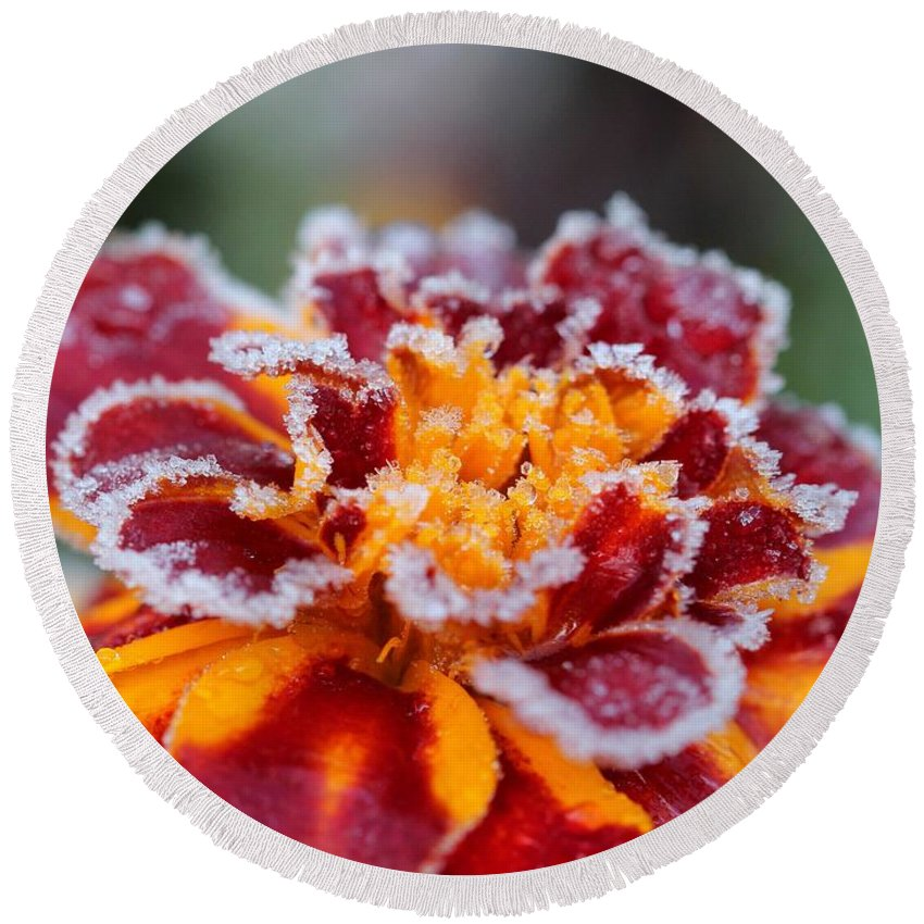 Mccombie Round Beach Towel featuring the photograph French Marigold Named Durango Red Outlined With Frost by J McCombie