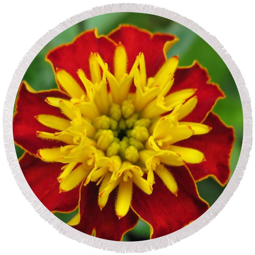 French Marigold Round Beach Towel featuring the photograph French Marigold Named Solan by J McCombie