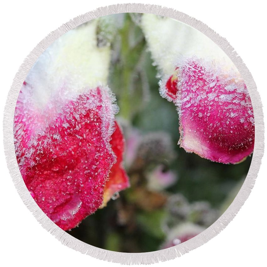 Mccombie Round Beach Towel featuring the photograph Frost Bears Down On Snapdragon Named Floral Showers Red And Yellow Bicolour by J McCombie