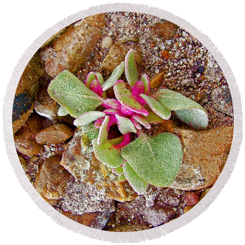 Fuzzy Plant On Blue Mesa Trail In Petrified Forest National Park Round Beach Towel featuring the photograph Fuzzy Plant On Blue Mesa Trail In Petrified Forest National Park-arizona by Ruth Hager