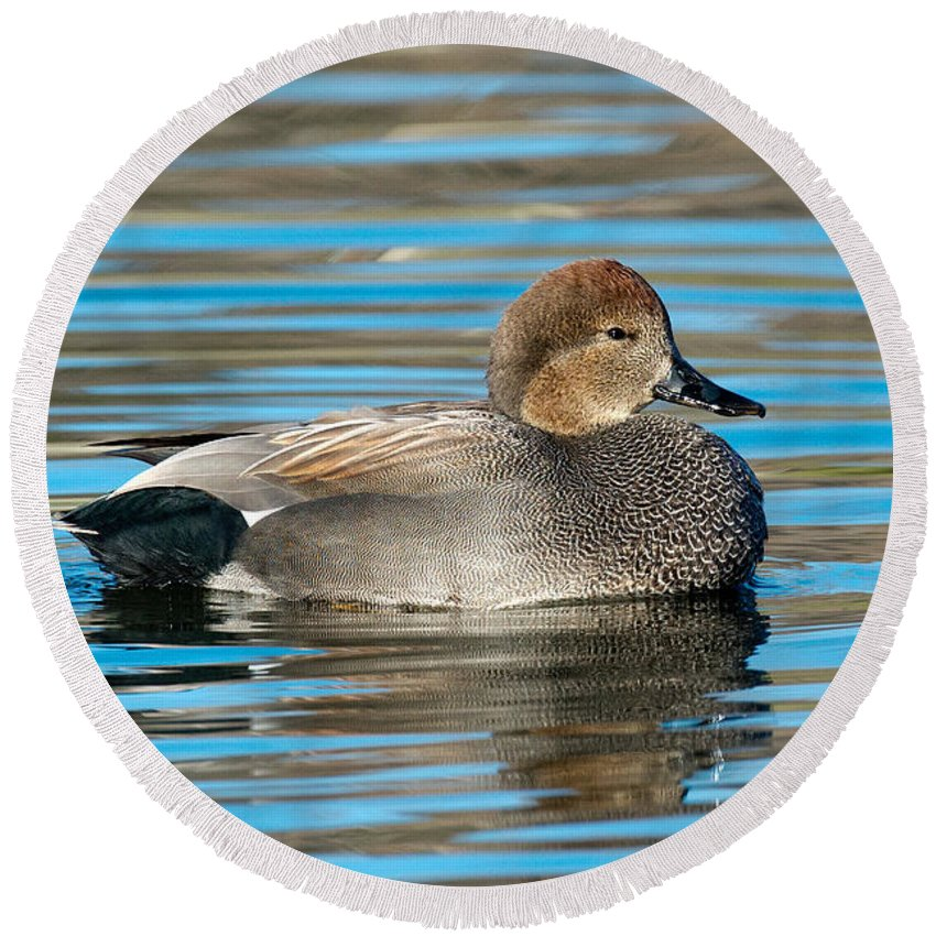 Gadwall Round Beach Towel featuring the photograph Gadwall Duck Drake Swimming by Anthony Mercieca