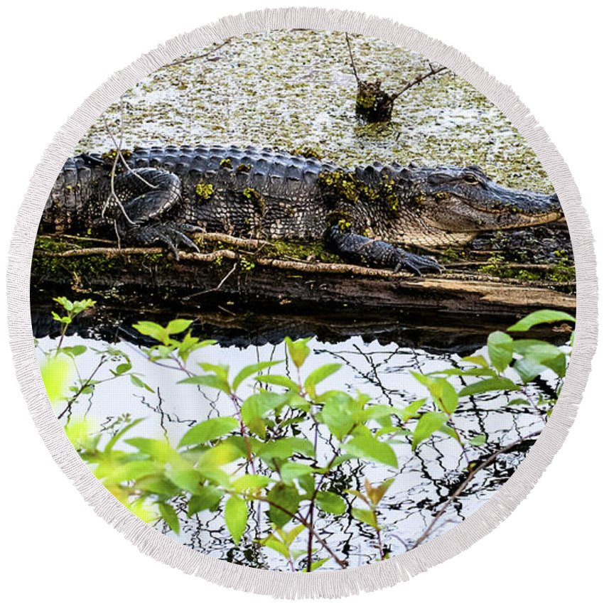 Alligator Round Beach Towel featuring the photograph Gator Camoflage by Norman Johnson