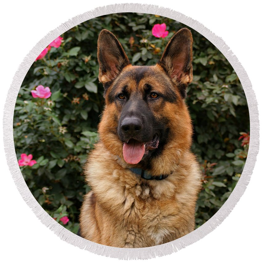 Dog Round Beach Towel featuring the photograph German Shepherd Dog by Sandy Keeton