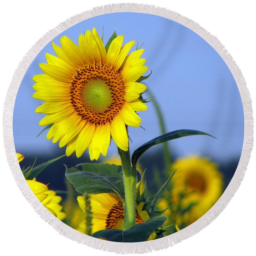 Sunflower Round Beach Towel featuring the photograph Getting To The Sun by Amanda Barcon
