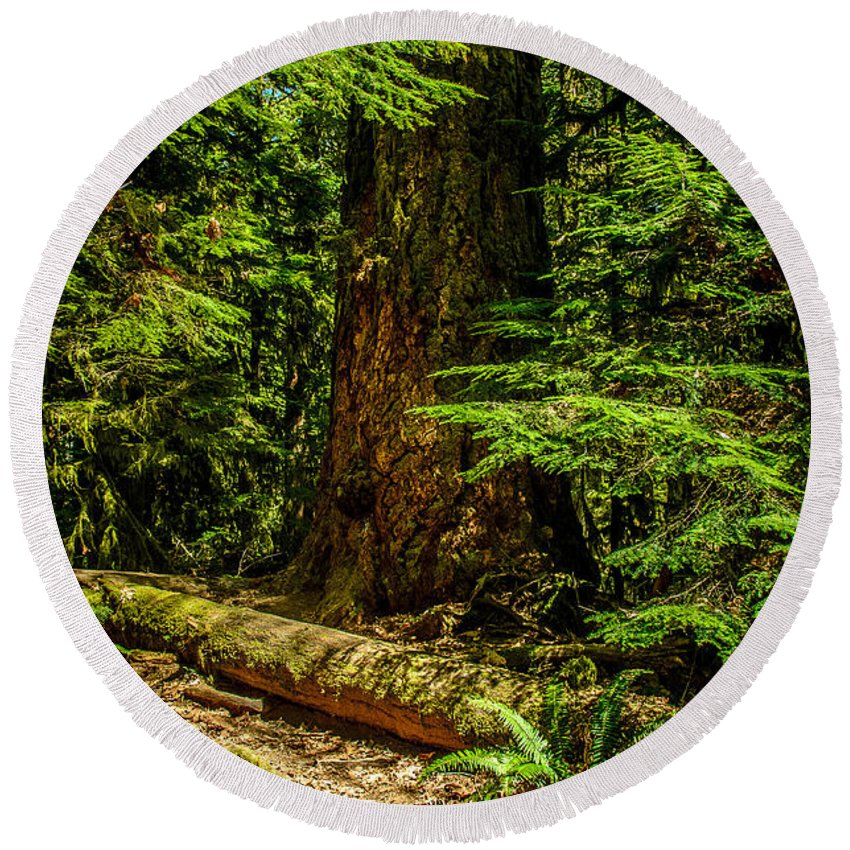 Old Growth Forest Round Beach Towel featuring the photograph Giant Douglas Fir Trees Collection 3 by Roxy Hurtubise