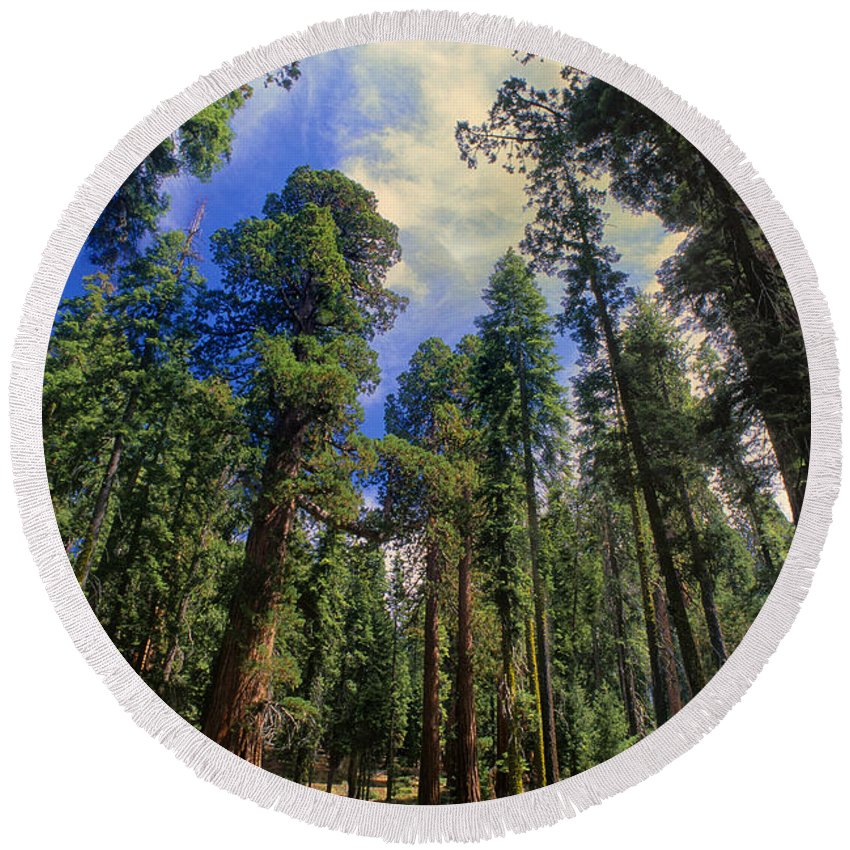 North America Round Beach Towel featuring the photograph giant sequoias sequoiadendron gigantium yosemite NP by Dave Welling