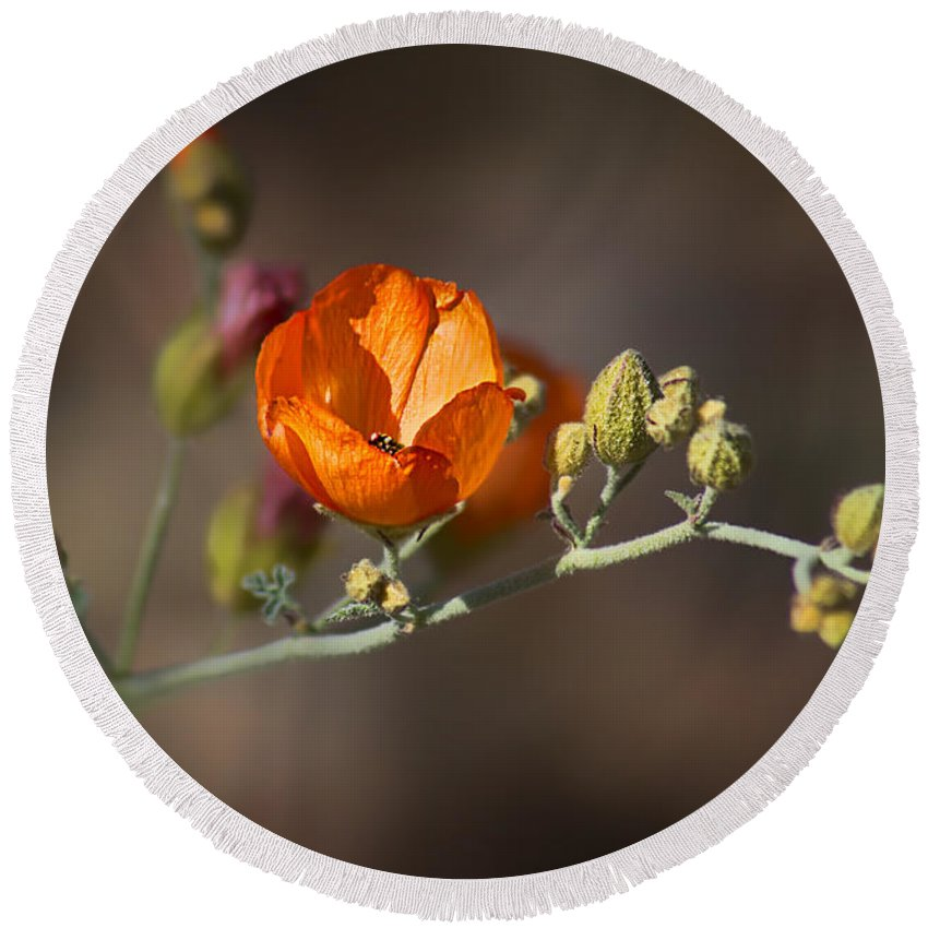 Wildflowers Round Beach Towel featuring the photograph Globemallow by Nikolyn McDonald