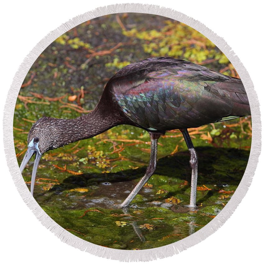 Ibis Round Beach Towel featuring the photograph Glossy Ibis by Bruce J Robinson