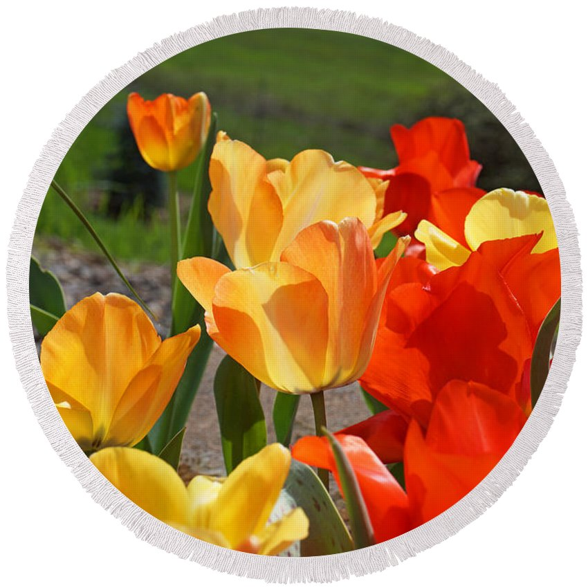 Red Round Beach Towel featuring the photograph Glowing Sunlit Tulips Art Prints Red Yellow Orange by Baslee Troutman