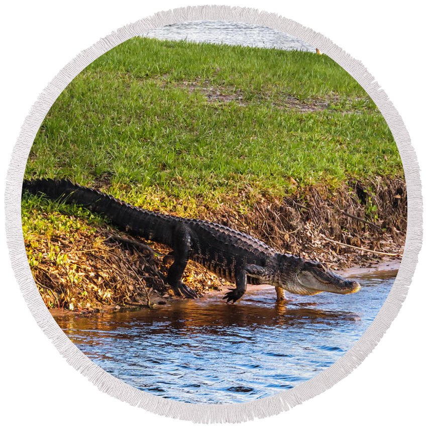 Alligators Round Beach Towel featuring the photograph Going Home by Zina Stromberg