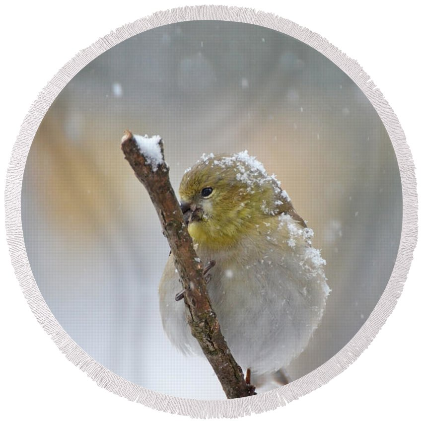 Nature Round Beach Towel featuring the photograph American Goldfinch On A Snowy Twig by Debbie Portwood