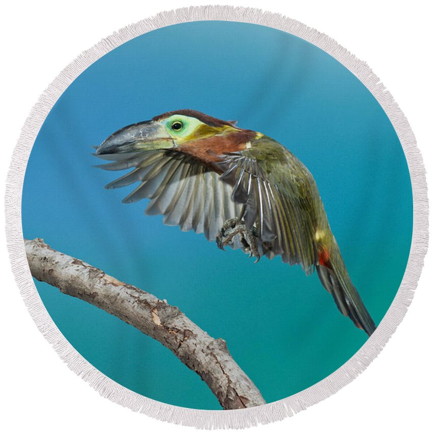 Animal Round Beach Towel featuring the photograph Golden-collared Toucanet by Anthony Mercieca