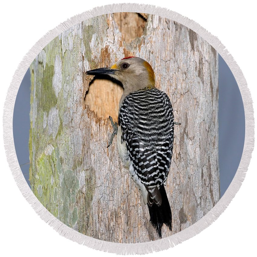 Melanerpes Aurifrons Round Beach Towel featuring the photograph Golden-fronted Woodpecker by Anthony Mercieca