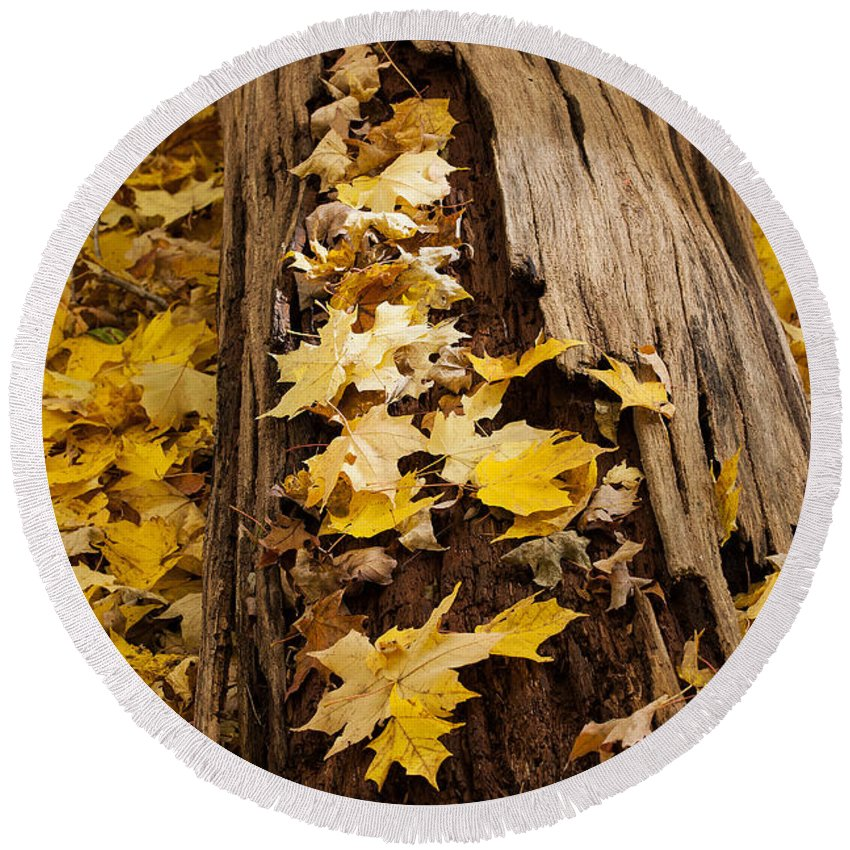 Maple Round Beach Towel featuring the photograph Golden Leaves by Emma England