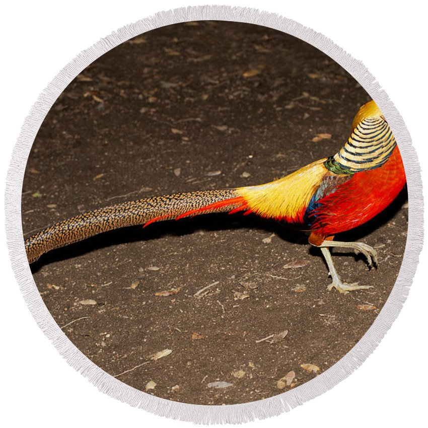 Animal Round Beach Towel featuring the photograph Golden Pheasant Male by Anthony Mercieca