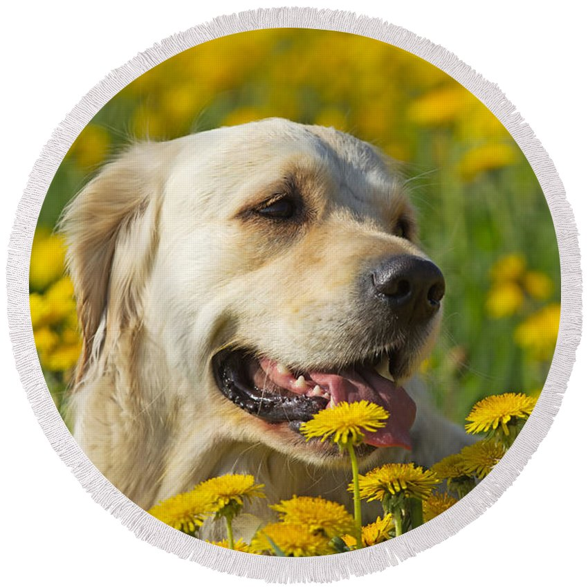Dog Round Beach Towel featuring the photograph Golden Retriever by Jaroslav Frank