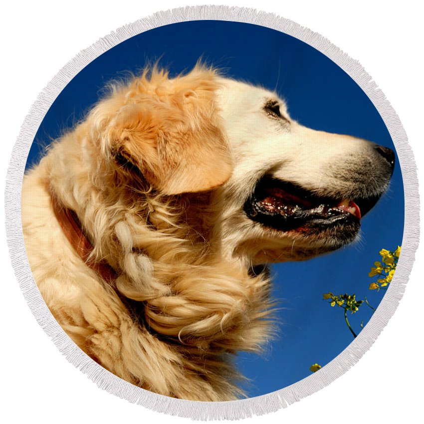 Adorable Round Beach Towel featuring the photograph Golden Retriever by TouTouke A Y