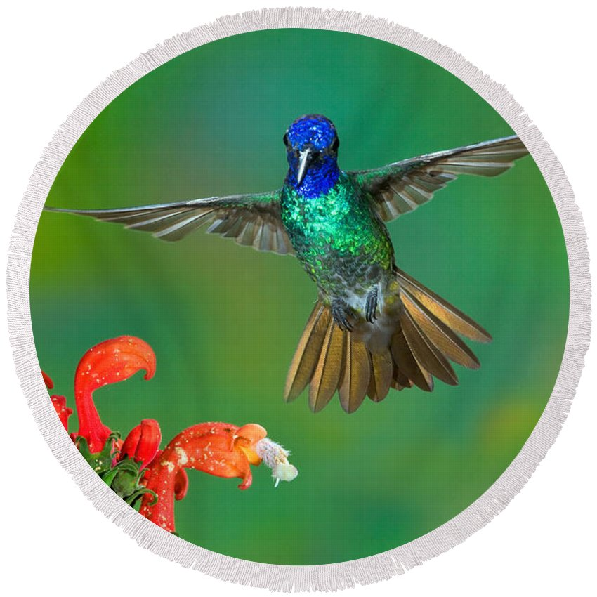 Animal Round Beach Towel featuring the photograph Golden-tailed Sapphire At Flower by Anthony Mercieca
