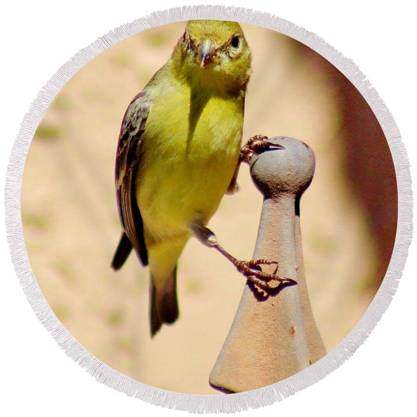 Bird Round Beach Towel featuring the photograph Goldfinch Hanging On 031015ac by Edward Dobosh