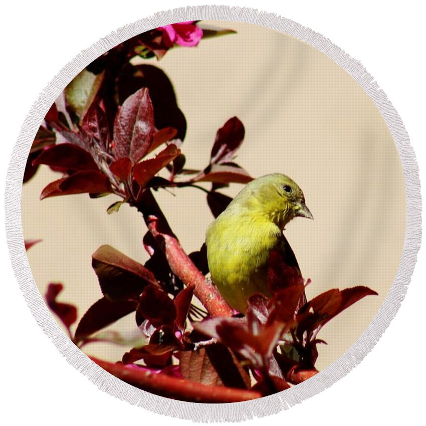 Wildlife Round Beach Towel featuring the photograph Goldfinch In Tree 031015a by Edward Dobosh