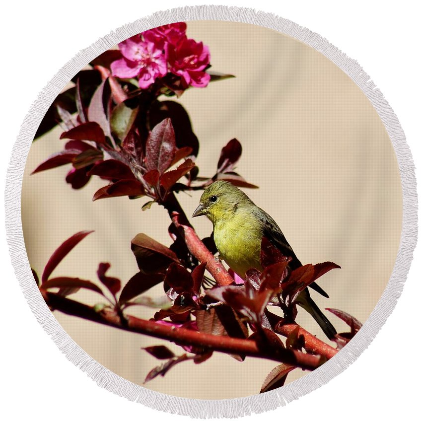 Wildlife Round Beach Towel featuring the photograph Goldfinch In Tree 031015aa by Edward Dobosh