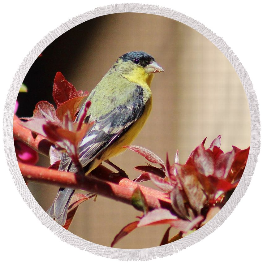 Wildlife Round Beach Towel featuring the photograph Goldfinch On Branch 031015aa by Edward Dobosh