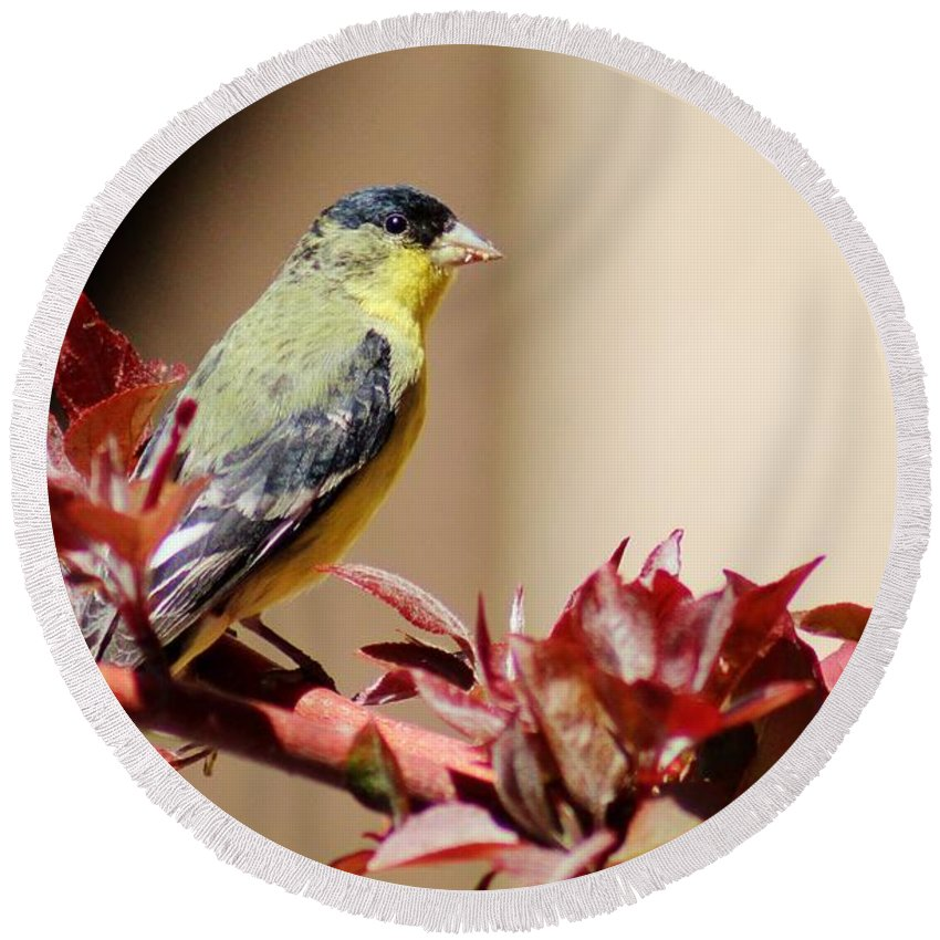 Wildlife Round Beach Towel featuring the photograph Goldfinch On Branch 031015aab by Edward Dobosh