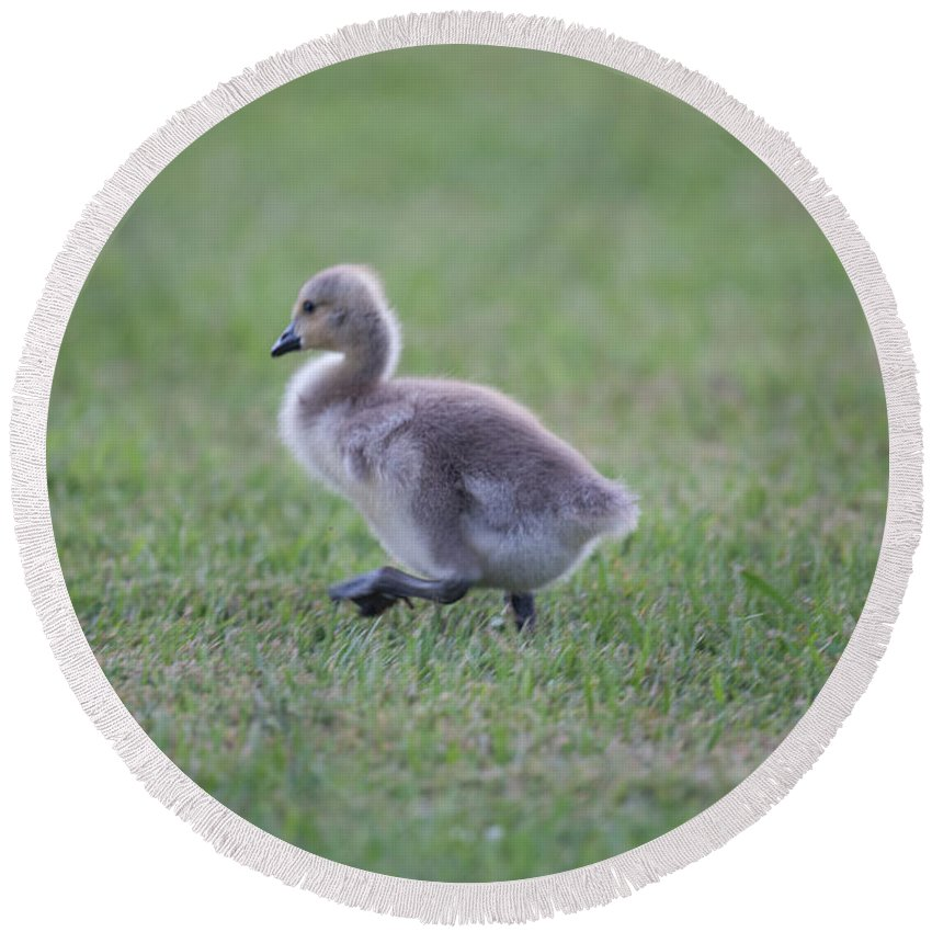 Gosling Round Beach Towel featuring the photograph Gosling Stroll by Dale Powell