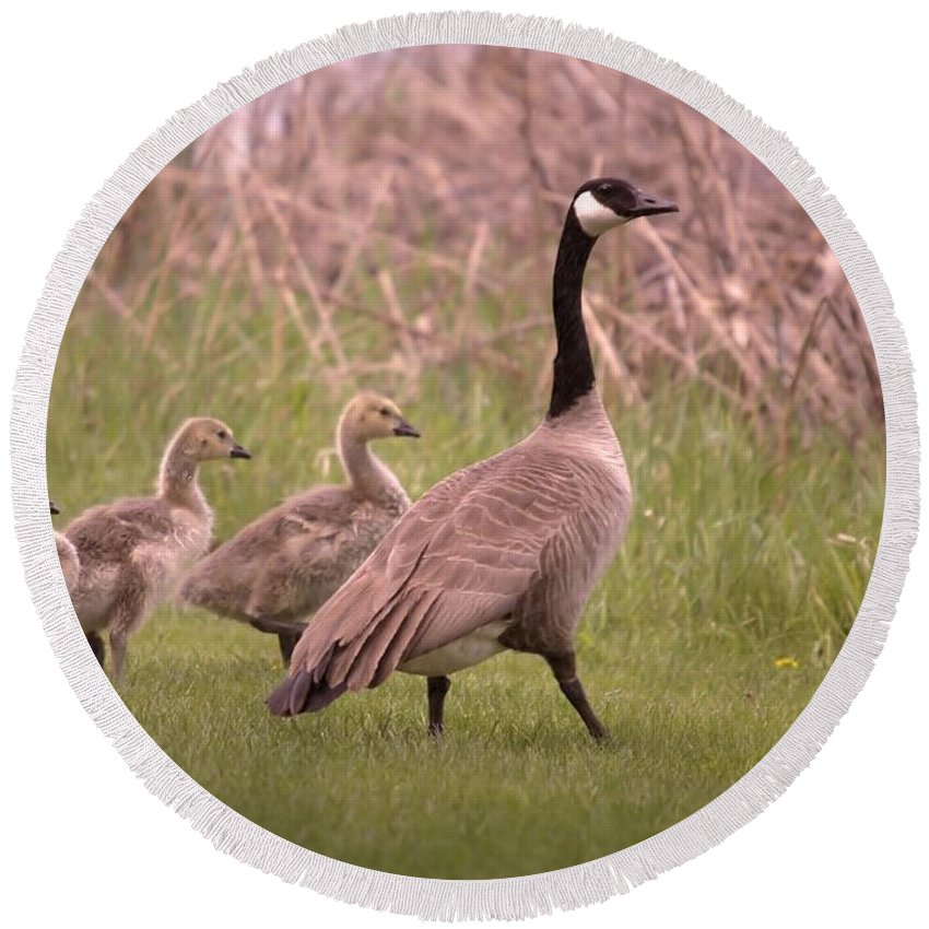 Geese Round Beach Towel featuring the photograph Goslings On A Walk by Jeff Swan