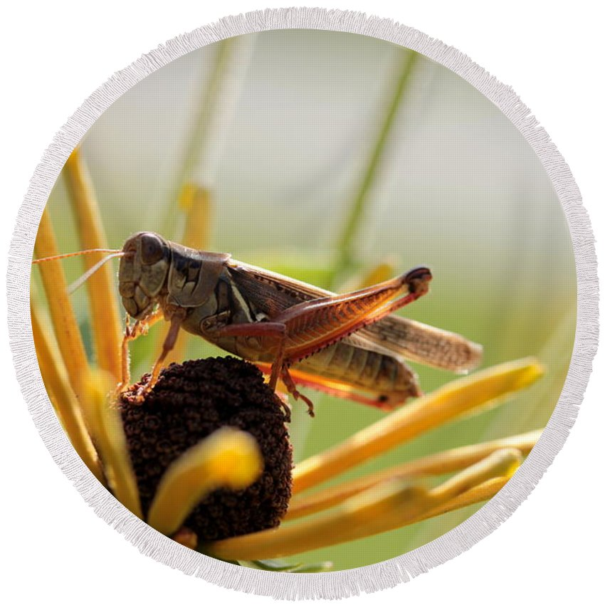 Grasshopper Round Beach Towel featuring the photograph Grasshopper Antenna Down by Kenny Glotfelty