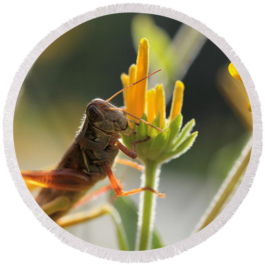 Grasshopper Round Beach Towel featuring the photograph Grasshopper Delight by Kenny Glotfelty