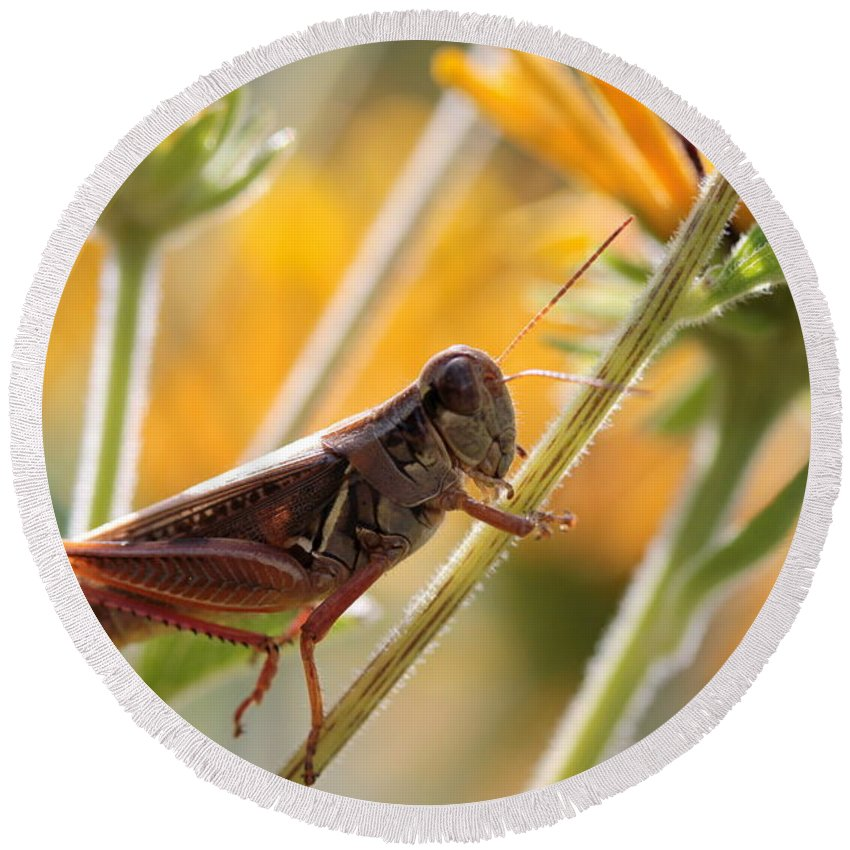 Grasshopper Round Beach Towel featuring the photograph Grasshopper On Coneflower Stem by Kenny Glotfelty