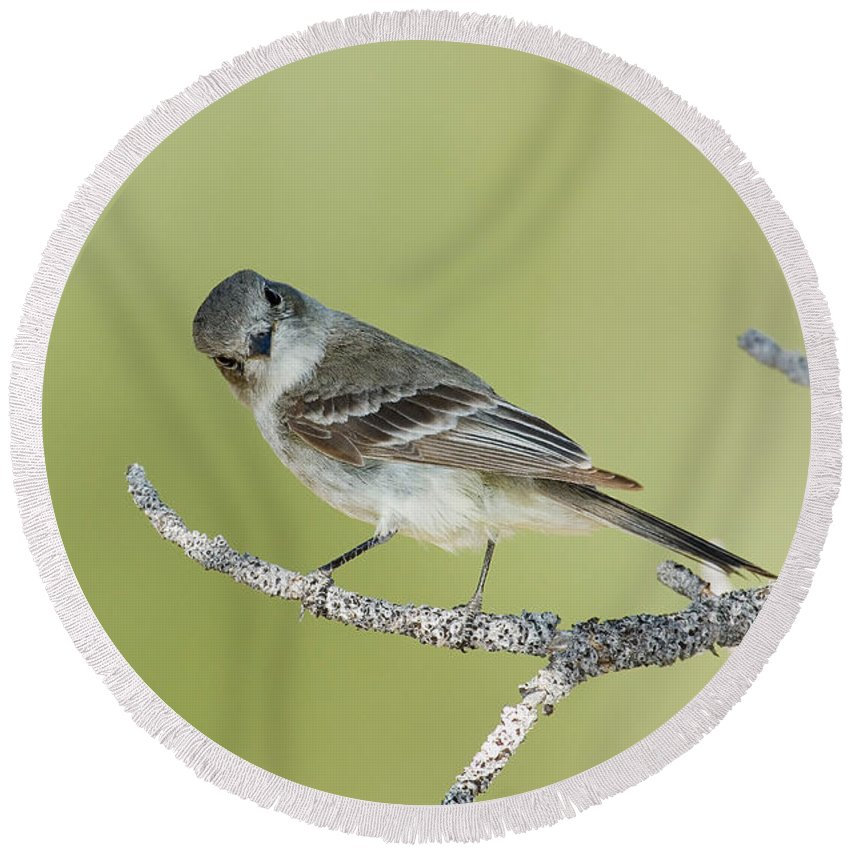 Fauna Round Beach Towel featuring the photograph Gray Flycatcher by Anthony Mercieca