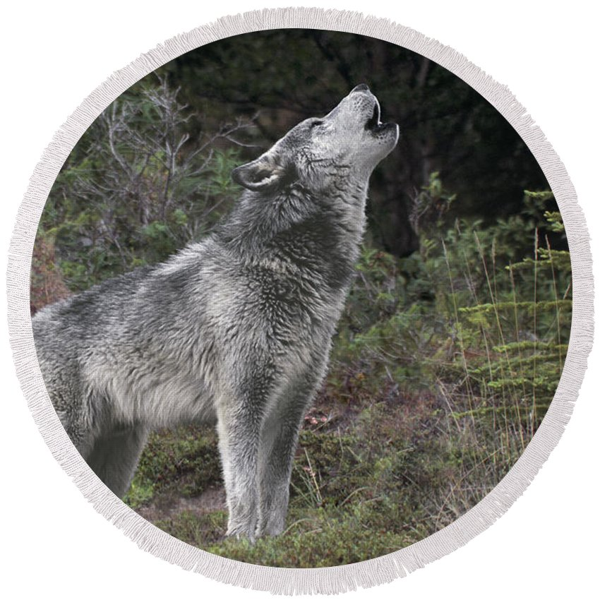 Gray Wolf Round Beach Towel featuring the photograph Gray Wolf Howling Endangered Species Wildlife Rescue by Dave Welling
