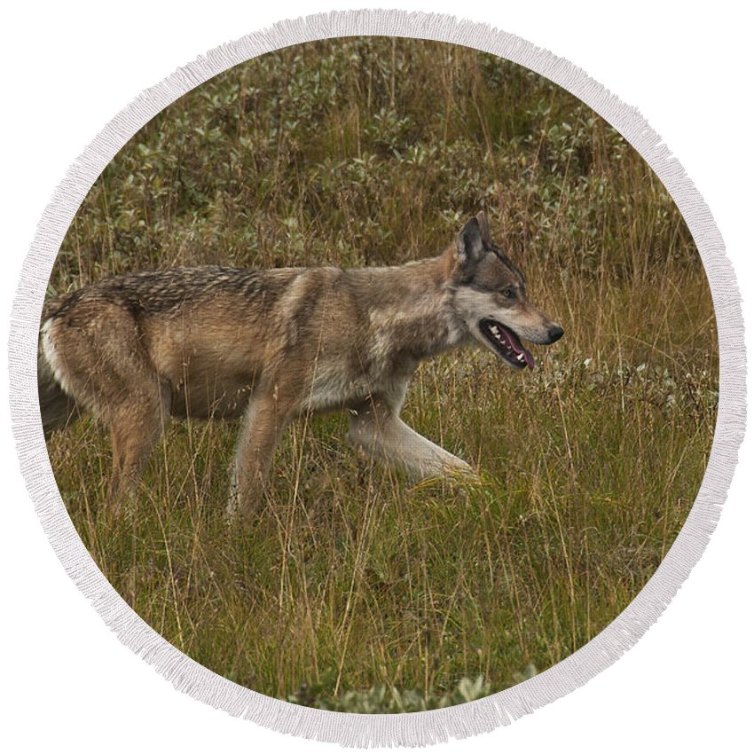 Animal Round Beach Towel featuring the photograph Gray Wolf Hunting by Ron & Nancy Sanford
