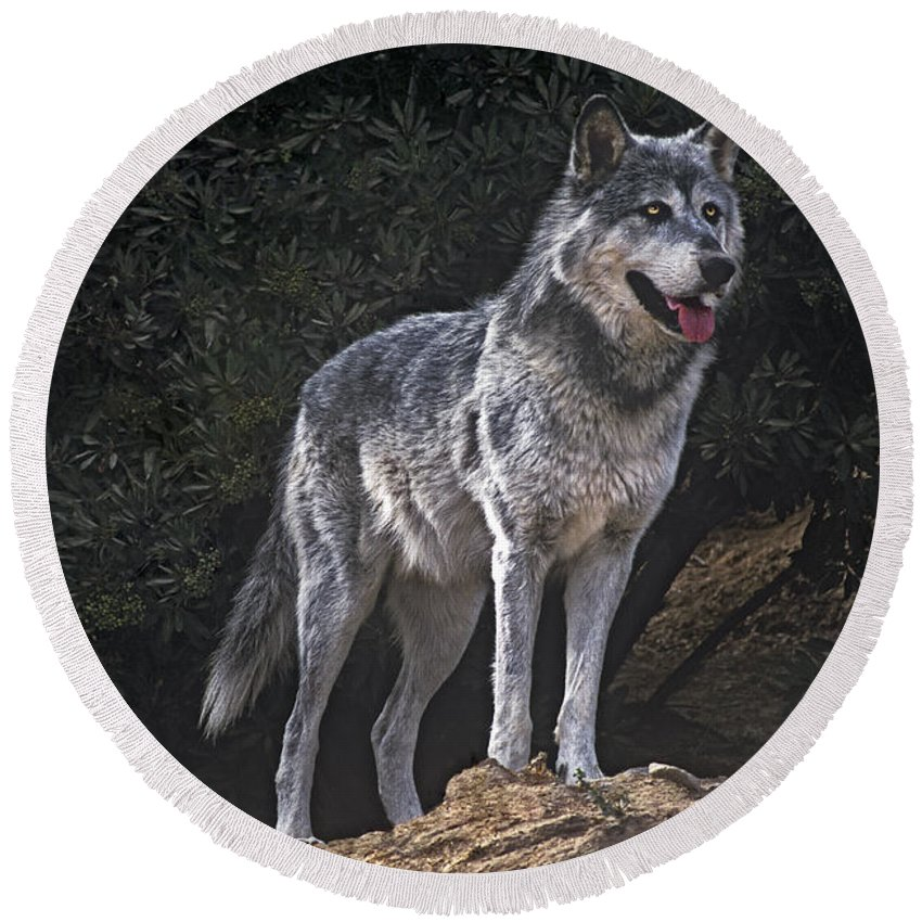 Gray Wolf Round Beach Towel featuring the photograph Gray Wolf On Hillside Endangered Species Wildlife Rescue by Dave Welling