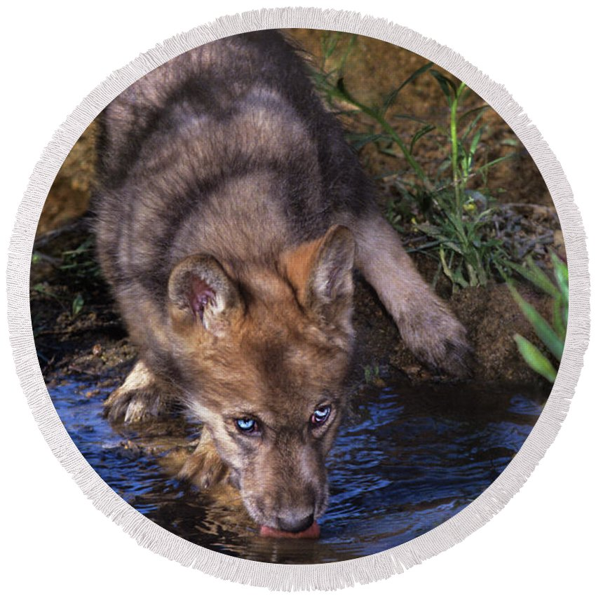 Gray Wolf Round Beach Towel featuring the photograph Gray Wolf Pup Endangered Species Wildlife Rescue by Dave Welling