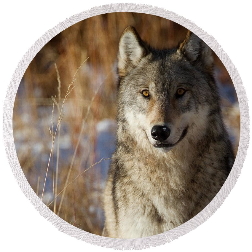 Wolf Round Beach Towel featuring the photograph Gray Yearling by Max Waugh