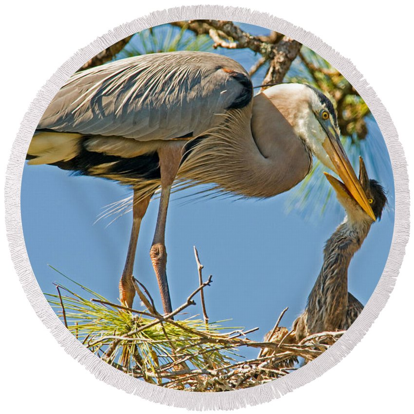 Nature Round Beach Towel featuring the photograph Great Blue Heron Adult Feeding Nestling by Millard H. Sharp
