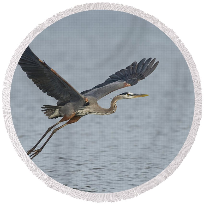 Great Blue Heron Round Beach Towel featuring the photograph Great Blue Heron by Anthony Mercieca