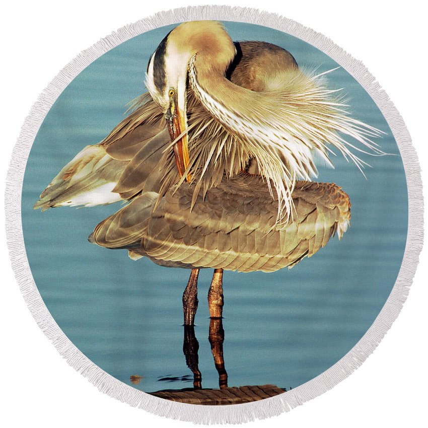 Animal Round Beach Towel featuring the photograph Great Blue Heron Ardea Herodias Preening by Millard H. Sharp