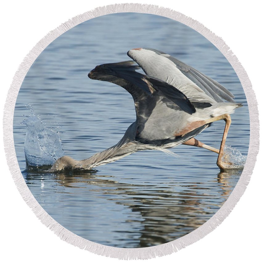 Great Blue Heron Round Beach Towel featuring the photograph Great Blue Heron Fishing by Anthony Mercieca