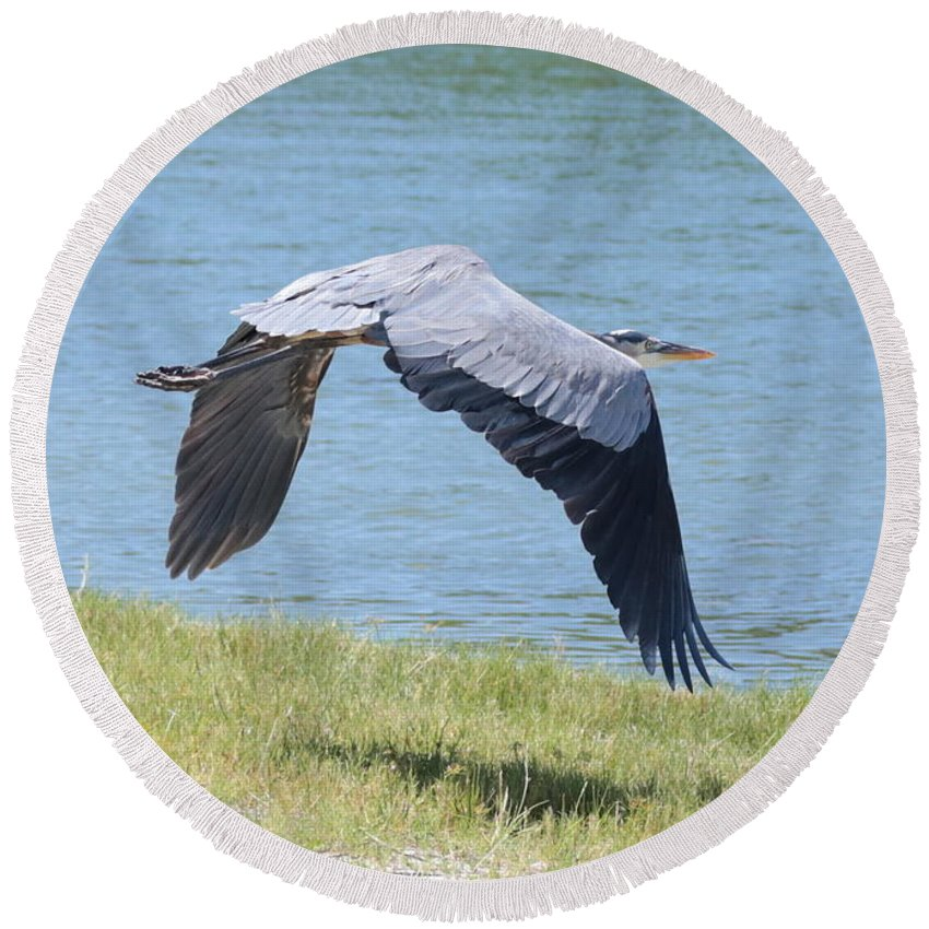 Great Blue Heron Round Beach Towel featuring the photograph Great Blue Heron In Flight by Carol Groenen