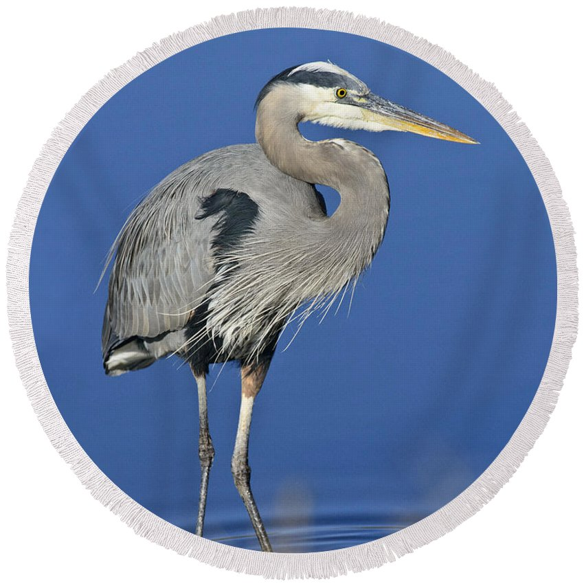 Heron Round Beach Towel featuring the photograph Great Blue Heron by Timothy Flanigan